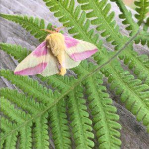 pink yellow moth